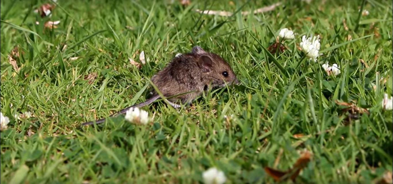rat exterminator jackson ms